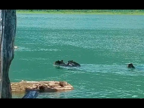 Joey Brooks - Mama Bear Saves Cub From Drowning