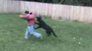 Attack Guard Dog Training Ass Whoooping!!(www.k9-1.com)