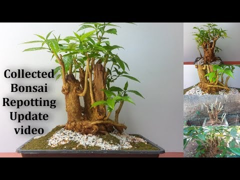 Collected Bonsai Tree Repotting With Good Results Bonsai Tree Collecting And Repotting Bonsai Youtube
