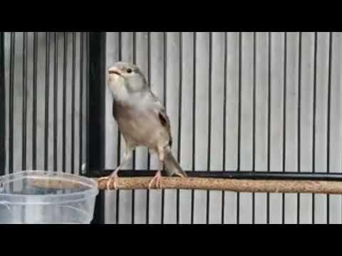 Canário Cinza Cantando Muito para ensinar e esquentas machos (BELGA)