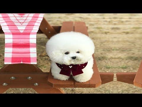CUTE FLUFFY DOG PLAYING CATCH [Bichon Tori]