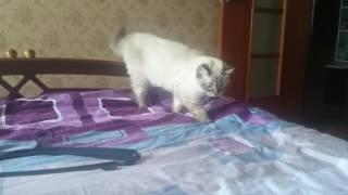 Смелый котёнок нападает...