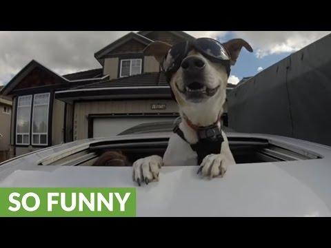 Dog uses sunroof to enjoy car ride