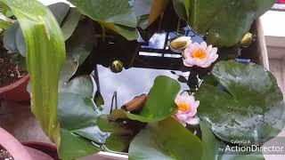Выращивание нимфеи(кувшинки)в небольших ёмкостях