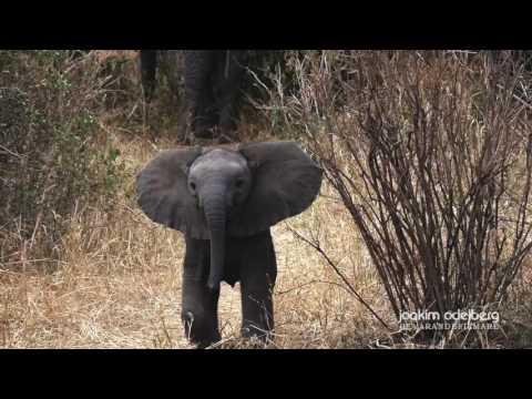 Little BIG elephant attack
