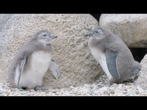 New Chicks on the Beach: San Diego Zoo African Penguin Colony Produces Its First Chicks