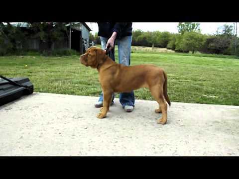 Dogue de Bordeaux Puppy Show Training