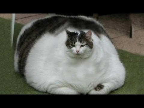 Biggest Cat In The World Guinness 2015 world's fattest cats guinness world records - youtube