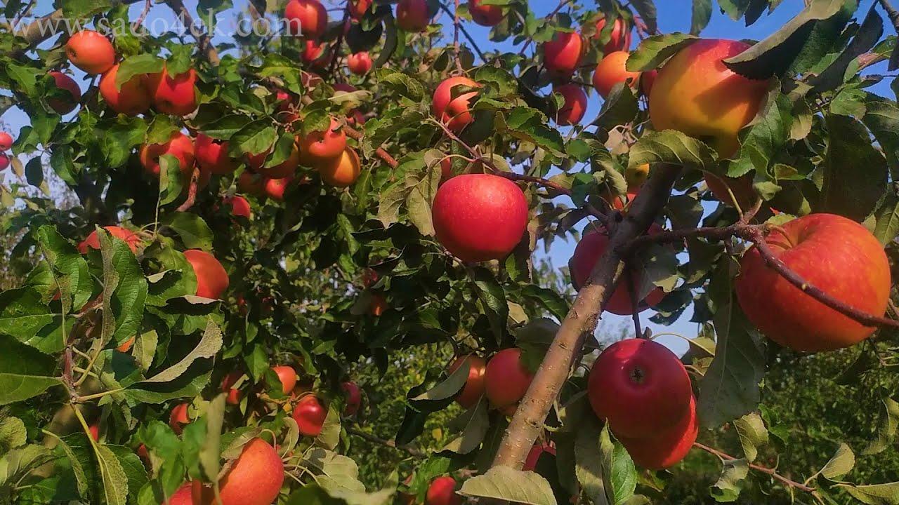 Сорт яблок Пинова. Наш опыт выращивания.