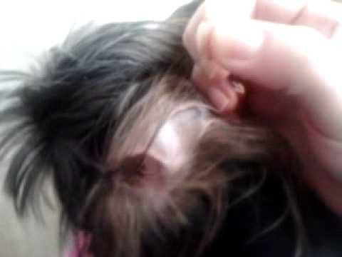 Что будет если не выщипывать волосы в ушах у йорков