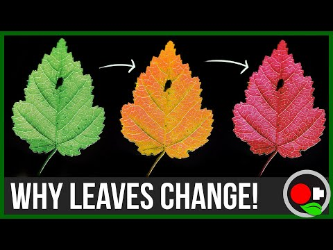 the scientific reason for leaves changing In autumn the leaves change colors and fall off the trees and school starts again in scientific terms  for this reason.