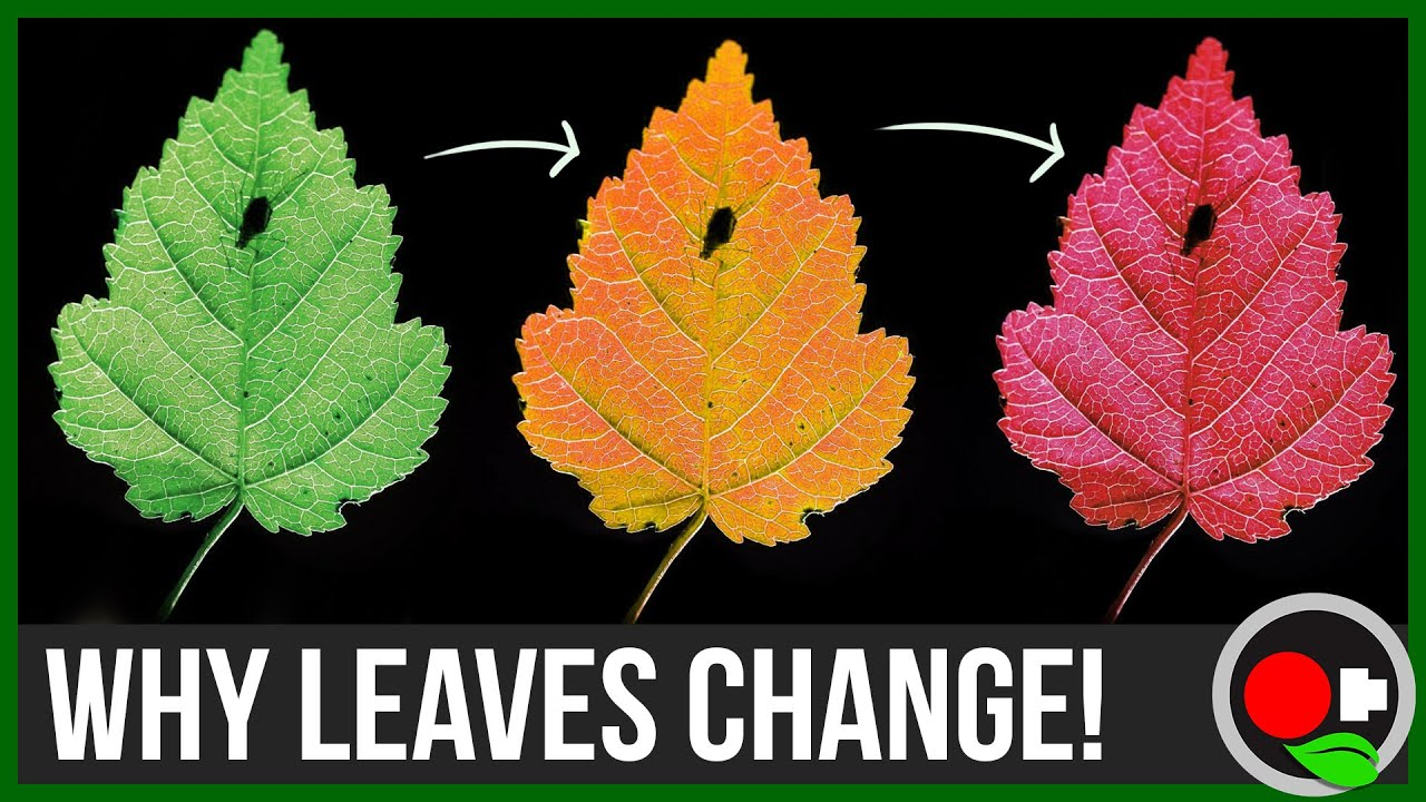why leaves change color untamed science youtube