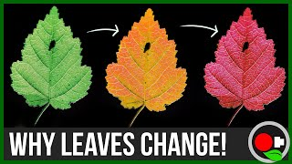 Why Leaves Change Color: Untamed Science