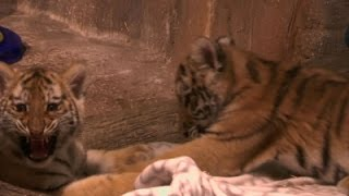 Amur Tiger Cubs Make Debut at Milwaukee Zoo