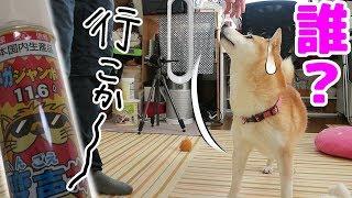 柴犬小春 【硬直】ヘリウム変声で散歩に誘ってみたら不審者扱いhelium voice