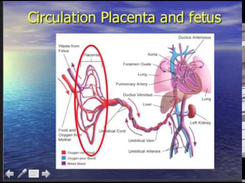 DAROGA Placenta Part One. Anatomy, physiology and circulation - YouTube