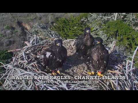 BALD EAGLES 🐥🐥🐥 DRAMA AT SAUCES...