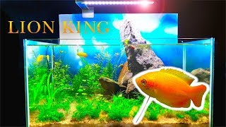 """The Lion King"" Planted Tank - ADDING ""SIMBA"" (How To Aquascape No Filter No Ferts No co2 No Heater)"