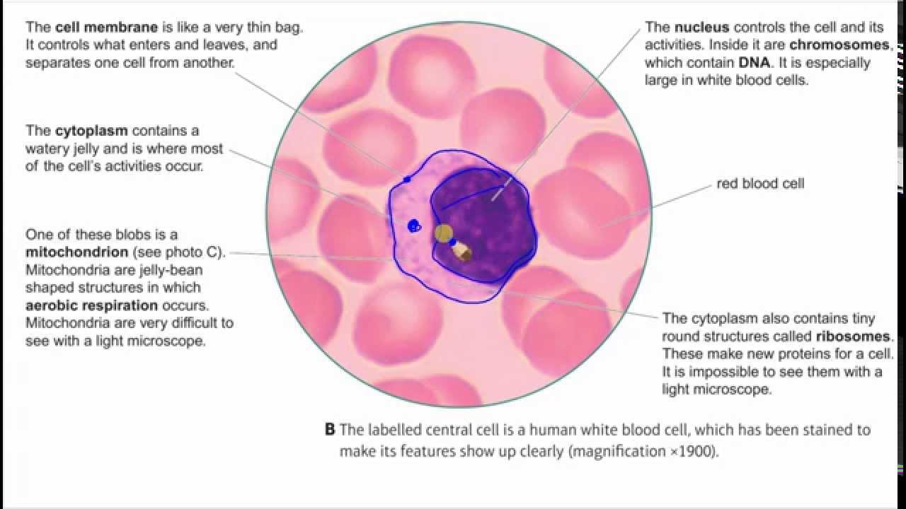 Plant  U0026 Animal Cells 1 - Structure  U0026 Function