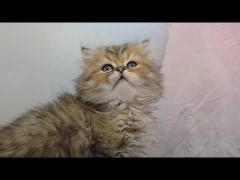 ペルシャ子猫はブリーダー直販で!/仙台市で子猫をお探しなら