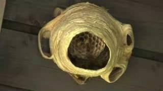 Hornissen bauen ein Nest