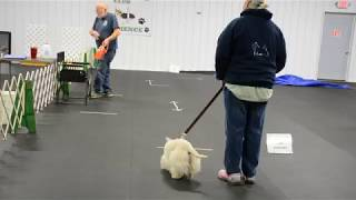 Scottish Terrier at an AKC ATT Evaluation on Nov 2nd, 2019