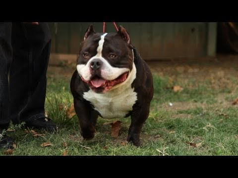 AMERICAN BULLY KENNEL - GOTTYLINE THE HOME OF DAX
