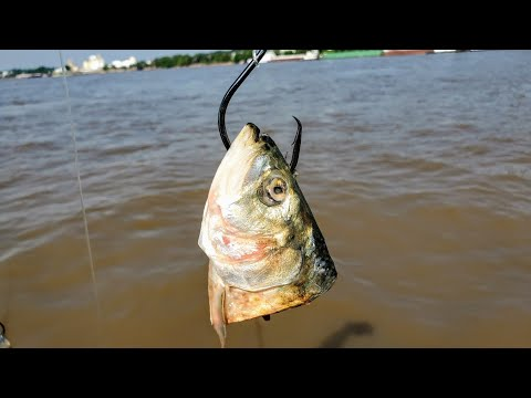 Fishing For GIANTS With Cut Skipjack!!! (Big River Fishing)