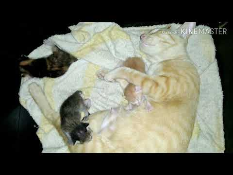 Little kittens real sound kitty cat meo