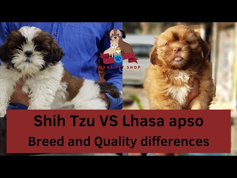 Shih Tzu VS Lhasa apso Breed and Quality differences