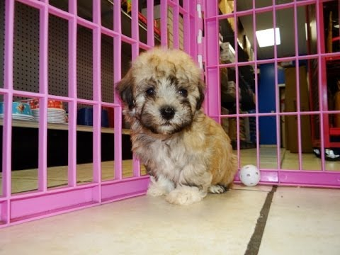 Havanese Puppies Dogs For Sale In Gulfport Mississippi Ms