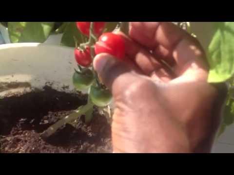 Home Gardening in Dubai: Cherry Tomatoes