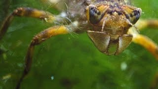 Video Stunning Time-Lapse of a Dragonfly Growing Wings download MP3, 3GP, MP4, WEBM, AVI, FLV Juni 2017