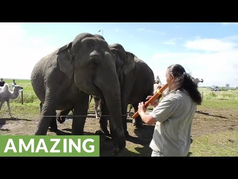 """Elephant with """"happy feet"""" dances to the music of a flute"""