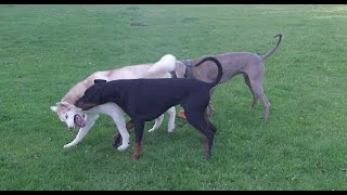 Tug Of War; Doberman, Husky & Weimaraner At A & B Dogs Boarding & Training Kennels.