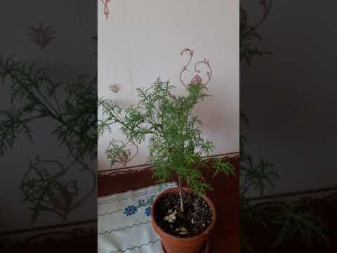 Filicifolium душистая пеларгония