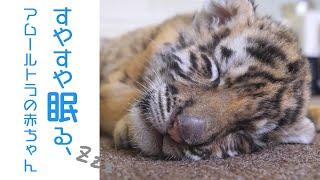 生後1か月のアムールトラの赤ちゃんが眠っている姿。近くで兄弟が鳴いて...