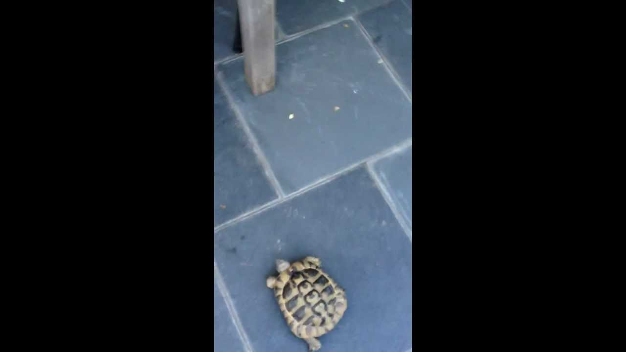 schildkr te will katze fressen turtle eat the cat lustig youtube. Black Bedroom Furniture Sets. Home Design Ideas