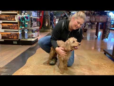 Best Dog Training Toledo, Ohio! 1 Year Old Nervous Mini Labradoodle, Javi