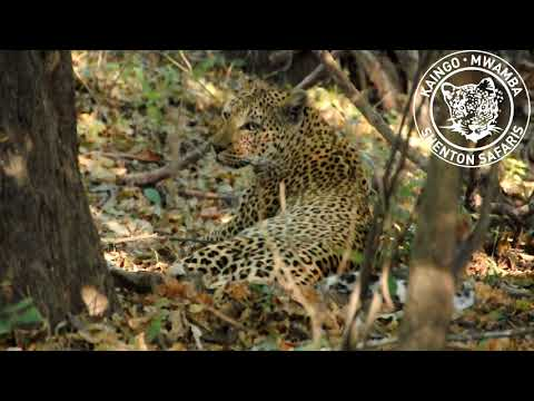 Thumbnail: Leopard fights a hyena, loses her kill