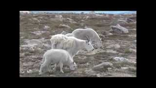 HD Mountain Goat baby investigates camera man Mount Evans Colorado USA