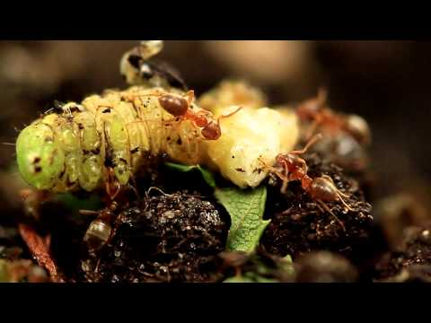 Ants eating a live caterpillar