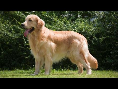 Golden Retriever Dog Review