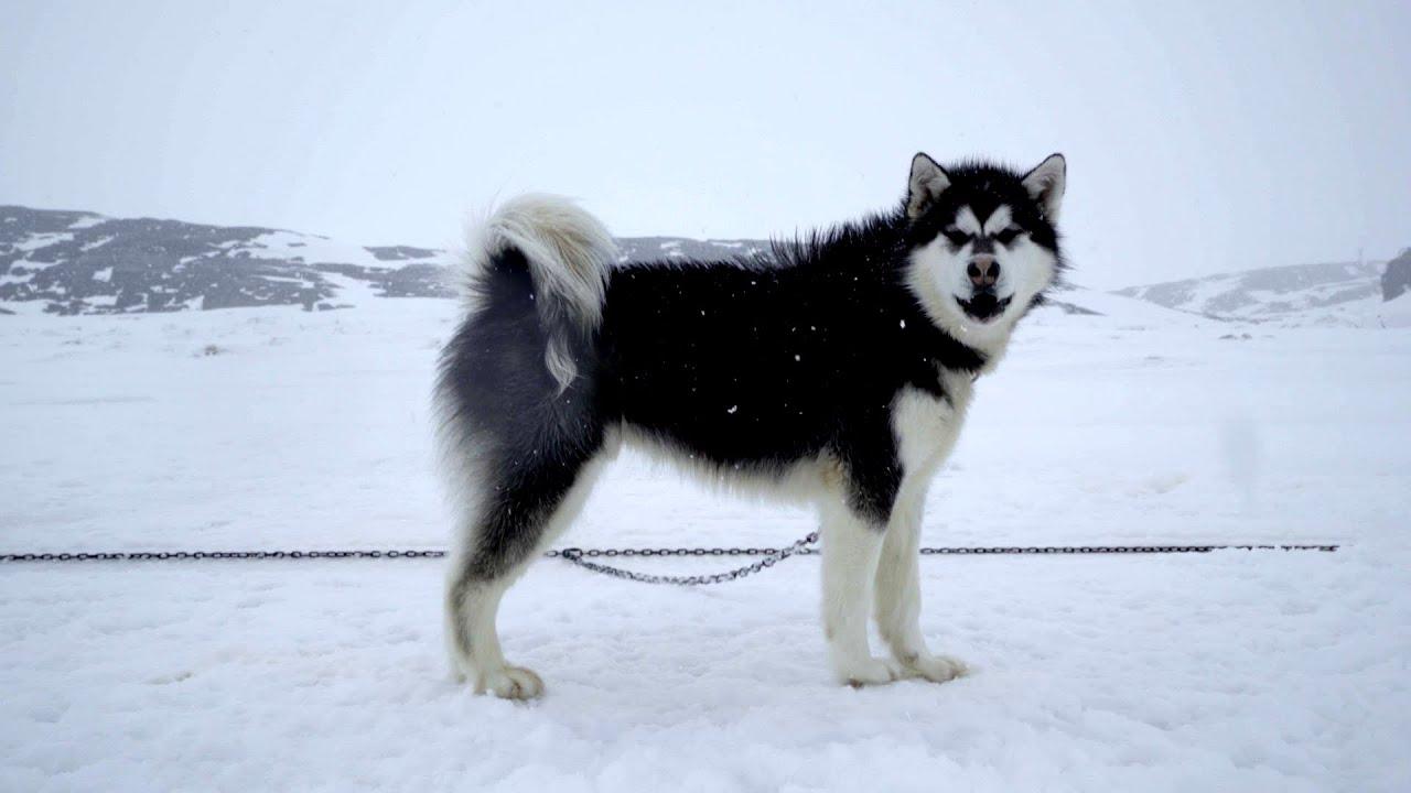far u0026 wide meet the inuit sled dogs of nunavut youtube