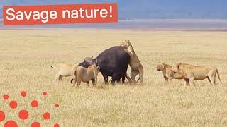 Lion Pride Eat Buffalo Alive