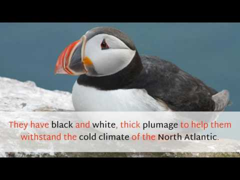 18 Very Interesting Facts You Should Know About Puffin