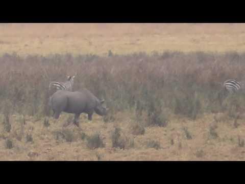 Ngorongoro crater - Black rhino