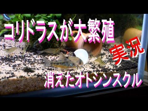 コリドラスが大繁殖と消えたオトシンスクル 【アクアリウム】