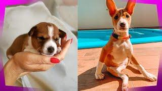 Basenji Dog Breed Information  History, Origin, Character, Personality, Character, Appearance