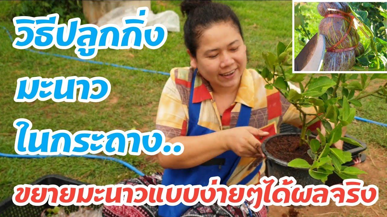 ปลูกมะนาวในกระถาง #หมูอ้วนชวนทำเกษตร